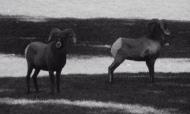S8-Sheep2